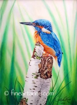 Kingfisher on birch stump