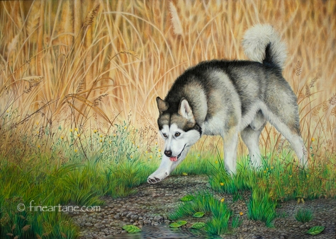 """Wild"" Alaskan malamute - Portrait"